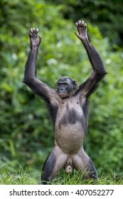 Chimpanzee Bonobo standing on her legs and hand up. at a short distance, close up. The Bonobo ( Pan paniscus), called the pygmy chimpanzee. Democratic Republic of Congo. Africa