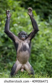 Chimpanzee Bonobo  standing on her legs and hand up.  short distance, close up. The Bonobo ( Pan paniscus), called the pygmy chimpanzee. Democratic Republic of Congo. Africa