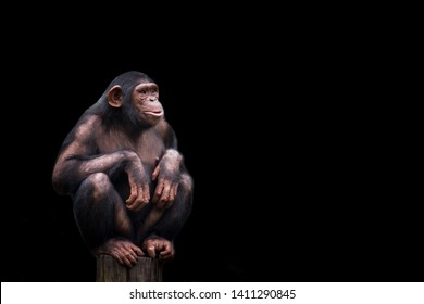 Chimpanzee or chimp Pan troglodytes isolated. Young chimpanzee alone portrait, sitting crouching on wood piece with crossed legs staring at horizon in pensive manner on dark black background.