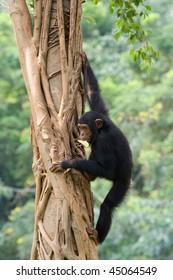 Chimpanzee is climbing up on a tree.