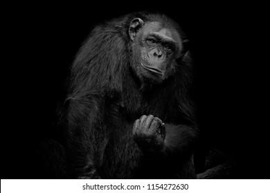 Chimpanzee Close up portrait isolated on black monochrome portrait