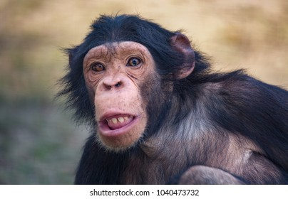 chimpanzee funny images stock photos vectors shutterstock