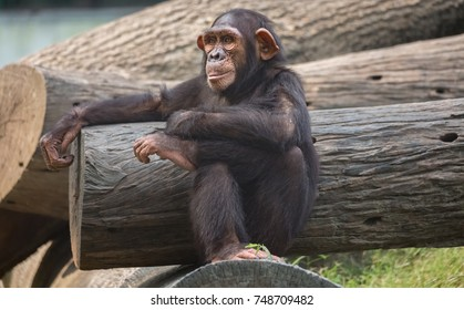 Chimpanzee in close up view with human sitting posture