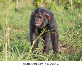 hominidae images stock photos vectors shutterstock