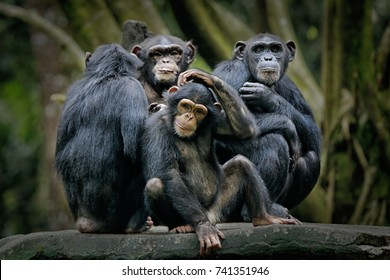 Chimpanzee consists of two extant species: common chimpanzee and bonobo. Bonobos and common chimpanzees are the only species of great apes that are currently restricted in their range to Africa