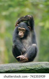Chimpanzee consists of two extant species: the common chimpanzee and the bonobo. Together with humans, gorillas and orangutans they are part of the family Hominidae (the great apes).