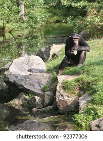 Chimpanzee contemplating deeply about life.