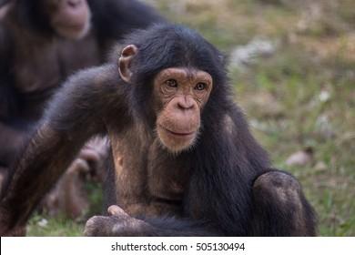 Chimpanzee with a curious expression at the Kolkata zoo - portrait closeup shot