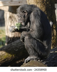 Chimpanzee eating Broccoli