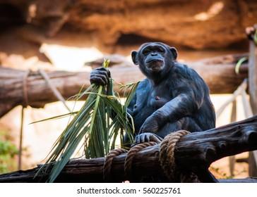 Chimpanzee eating grass bamboo