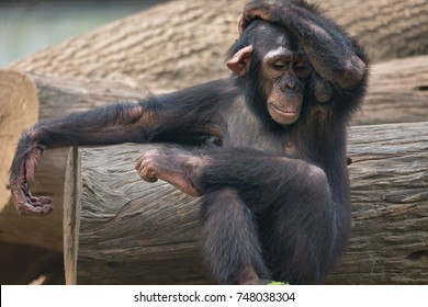 Chimpanzee with an expression of disappointment
