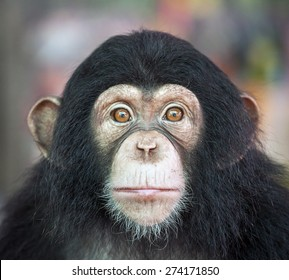 how to draw a realistic chimpanzee face