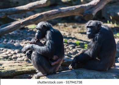 Chimpanzee family with baby sitting relaxed on a rock on sunny day