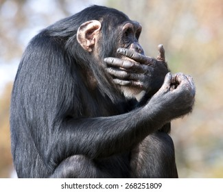 Chimpanzee with hand over mouth