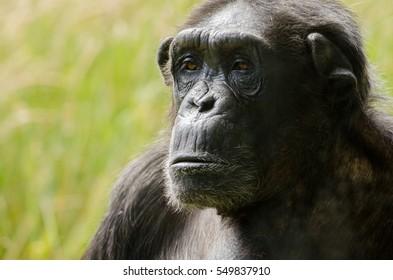 A chimpanzee head shot, in close up