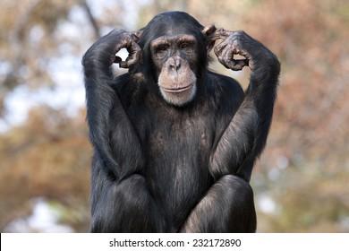 Chimpanzee hear no evil