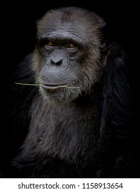 Chimpanzee hold branch in his mouth on black background