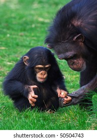 Chimpanzee holding careful the hand of her child