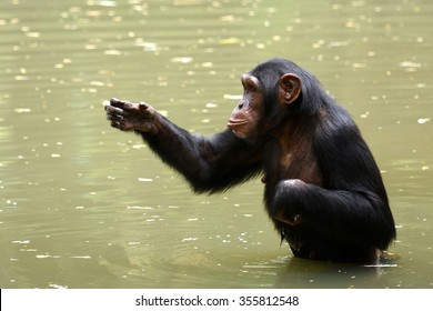 Chimpanzee intelligence monkey with cute action in water