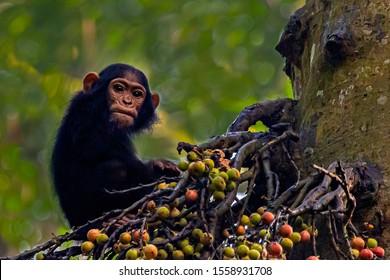 Chimpanzee in Kibale rainforest, Uganda, Africa
