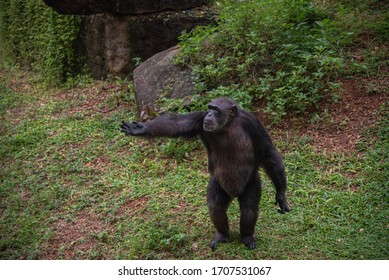 """The chimpanzee, also known as the common chimpanzee or simply """"chimp"""", is a species of great ape native to the forests and savanna of tropical Africa"""