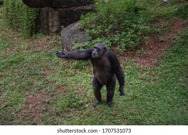 "The chimpanzee, also known as the common chimpanzee or simply ""chimp"", is a species of great ape native to the forests and savanna of tropical Africa"