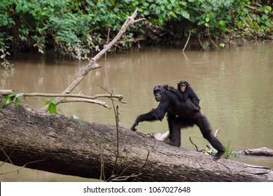 Chimpanzee in the Kyambura Gorge