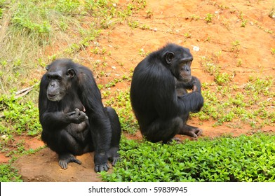 A chimpanzee living in the forest. And is the forage