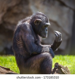 Chimpanzee looking on its hand