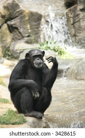 Chimpanzee Looking at You