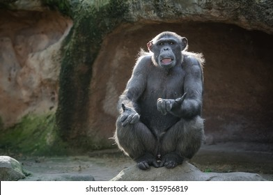 Chimpanzee monkey sitting on a rock with a funny face expression, its mouth open and hands gesture as if asking something