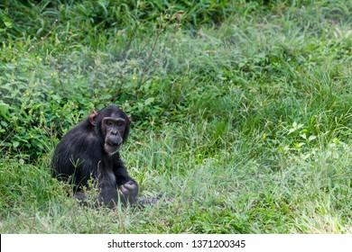 Chimpanzee in Ngamba Island Chimpanzee Sanctuary, on Ngamba Island, Lake Victoria, Uganda