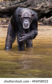 A chimpanzee on Monkey Island in Liberia stares deeply into my soul.