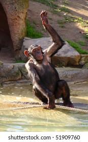 Chimpanzee (Pan troglodytes).