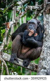 Chimpanzee (Pan troglodytes)  with a cub on mangrove branches. Mother-chimpanzee sits and holds on hands of the cub