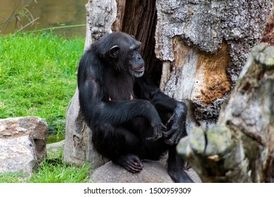 """The chimpanzee (Pan troglodytes), also known as the common chimpanzee, robust chimpanzee, or """"chimp"""", a species of great ape native to the forests and savannahs of tropical Africa, seated at the zoo."""