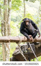 """The chimpanzee (Pan troglodytes), also known as the common chimpanzee, robust chimpanzee, or simply """"chimp"""", is a species of great ape native to the forests and Savannah of tropical Africa."""