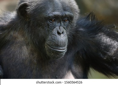 """The chimpanzee (Pan troglodytes), also known as the common chimpanzee, robust chimpanzee, or simply """"chimp"""", is a species of great ape native to the forests and savanna of tropical Africa."""