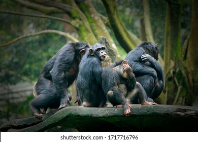 """The chimpanzee (Pan troglodytes), also known as the common chimpanzee, robust chimpanzee, or simply """"chimp"""", is a species of great ape native to the forests and savannahs of tropical Africa"""