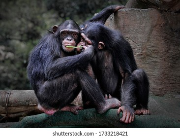 "The chimpanzee (Pan troglodytes), also known as the common chimpanzee, robust chimpanzee, or simply ""chimp"", is a species of great ape native to the forest and savannah of tropical Africa"