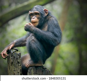The chimpanzee (Pan troglodytes), also known as the common chimpanzee, robust chimpanzee, or simply chimp, is a species of great ape native to the forest and savannah of tropical Africa