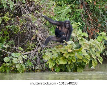 Chimpanzee (Pan troglodytes) in its natural habitat on Baboon Islands in The Gambia