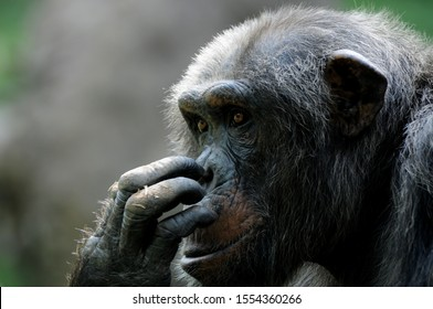 Chimpanzee with a pensive look