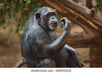 Chimpanzee portrait in natural habitat