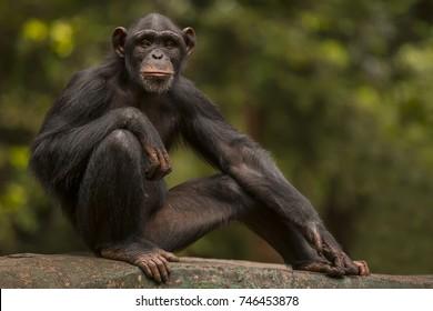 chimpanzee pose like a humans