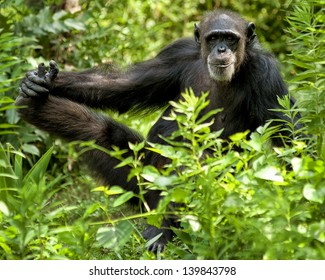 A chimpanzee posing for a photo.