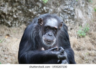 Chimpanzee primate is a species of great ape.