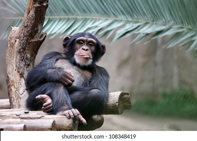 Chimpanzee relaxing on a branch