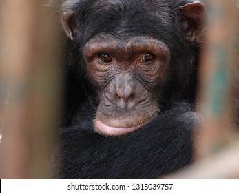 A chimpanzee in a sanctuary in Cameroon, Africa.