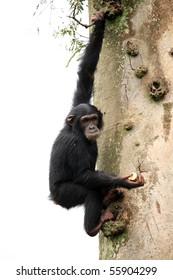 Chimpanzee Sanctuary, Game Reserve - Uganda, East Africa